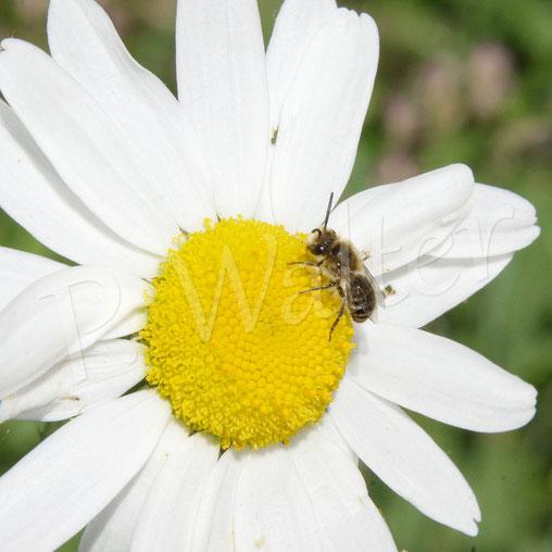 Bild: Seidenbiene, Colletes spec., Männchen, an einer Wiesenmargarite