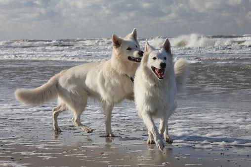 Zwei weisse Schäferhunde laufen spielend durch das Meer am Strand