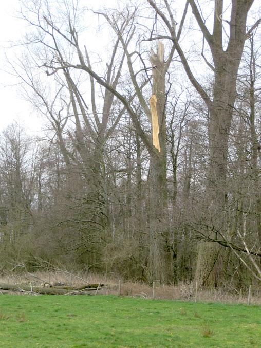Afgeknapte Populier aan de rand van het Wilgenbroek.