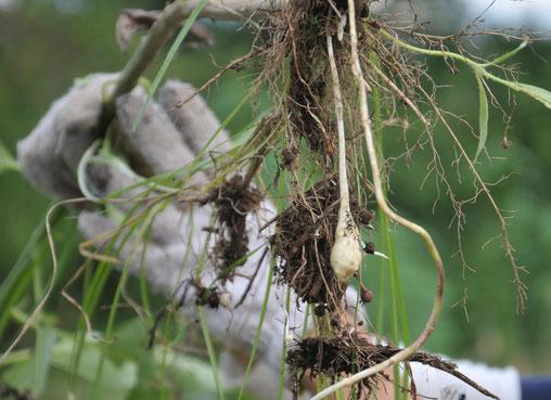 キクイモ 無農薬 自然栽培 農業体験 野菜作り教室
