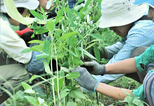 ゴマ 自然栽培 体験農場 農業体験 野菜作り教室 無農薬栽培