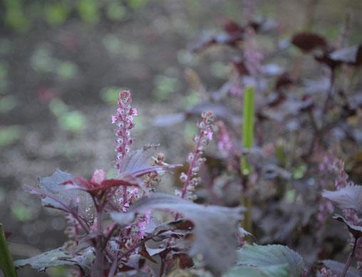 赤しそ 穂紫蘇
