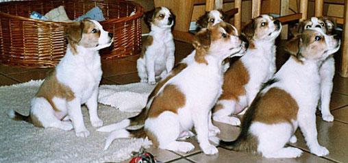 Der A-Wurf mit 8 Wochen- alle warten auf das Kromitaxi