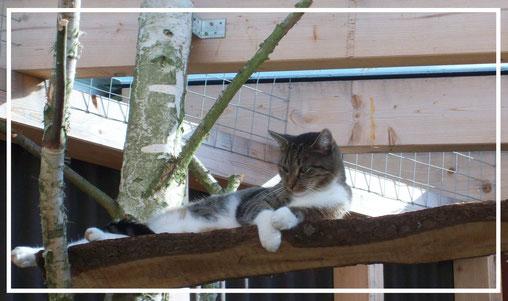 Zwischen Birkenstämmen liegt ein wunderschöner Kater wie hingegossen auf einer der Querlatten direkt unter der Dachkonstruktion des Freigeheges