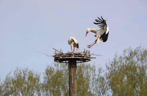 """Die besenderte Weißstörchin """"Libi"""" beim Nestbau mit ihrem Partner auf dem NABU-Nest in Hachborn - Foto: Miriam Wagner"""