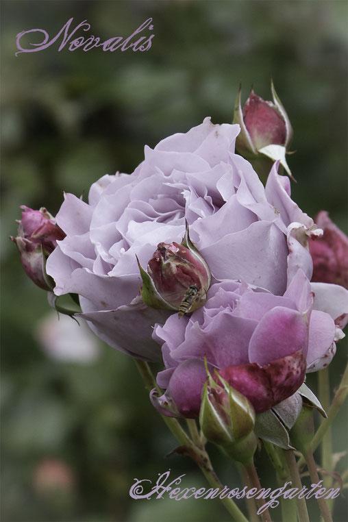 Rosenblog Hexenrosengarten  Rosiger Adventskalender Rose Novalis Kordes