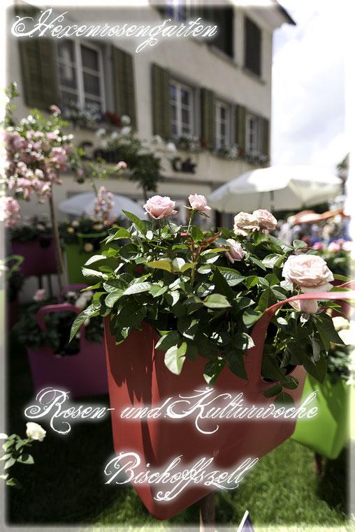Rosenblog Hexenrosengarten  Rosiger Adventskalender Rosen- und Kulturwoche Bischoffszell