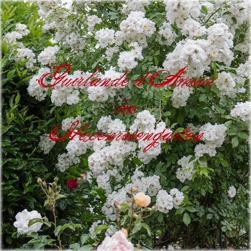 Hexenrosengarten Rosen Guirlande d'Amour