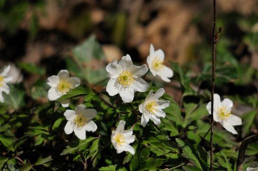 _DSC9106-Anémone des bois-Anemone nemorosa-Ranunculaceae