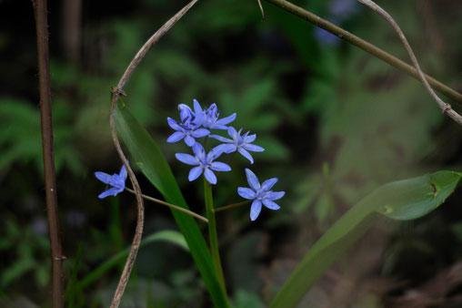 _DSC9114_Scille à deux feuilles-Scilla bifolia-Asparagaceae