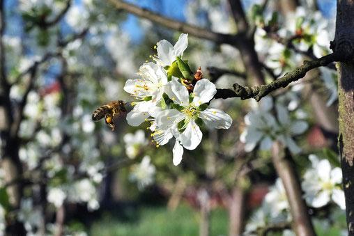 Eine Biene im apfelbaum