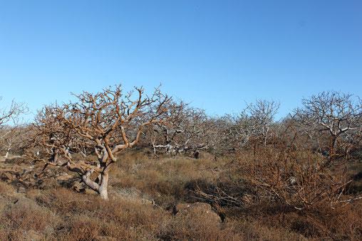 Die Galápagos Insel Nord Seymour wird auch häufig beim Island Hopping besucht