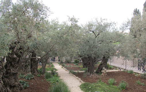 The eight oldest trees in Gethsemane