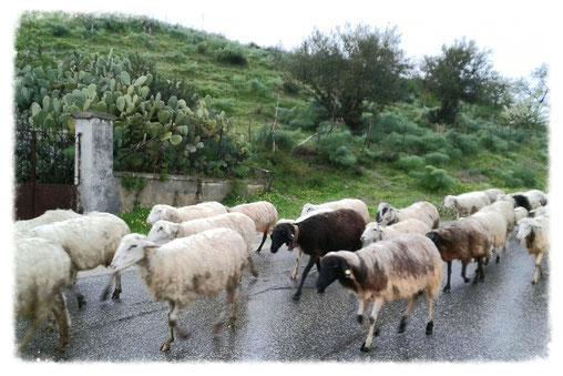 bedauernswert: nasse Schafe auf dem Weg nach Enna
