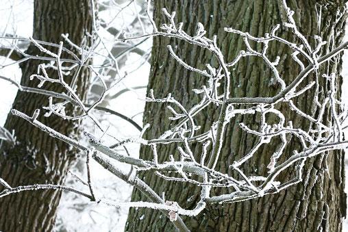 Schneebedeckte Zweige vor dunklem Eichenstamm