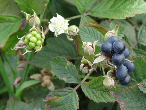 Bild: saftige Früchte an der wilden Brombeere