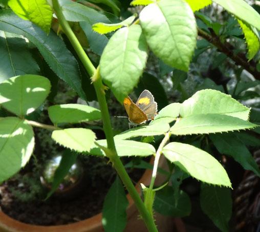 Bild: kleiner Schmetterling auf Rosenblatt