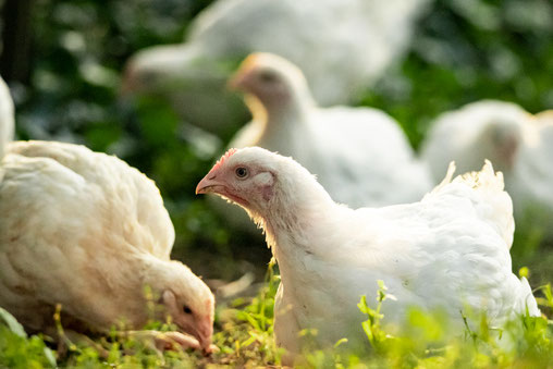 Freiland, Hähnchen, Freilandhähnchen, Hofladen, Hofladen, Holweg, Hof Holweg, Coppenbrügge, Hameln-Pyrmont, Hameln, Hühnermobil, regional, Bauernhof