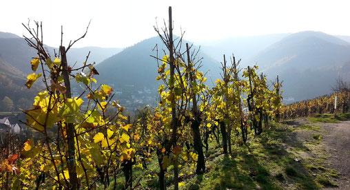 """Spätherbstliche Stimmung am Rotweinwanderweg. Die stimmungsvolle Sicht durch die Reben vom Weinberg """"Recher Herrenberg"""" hinunter ins Tal nach Rech."""