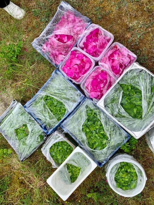 Fichtensprossen und Rosenblätter kiloweise