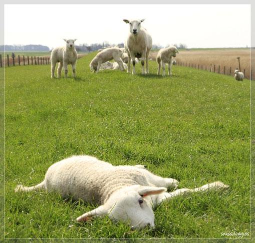 vorbei an hunderten von Schafen