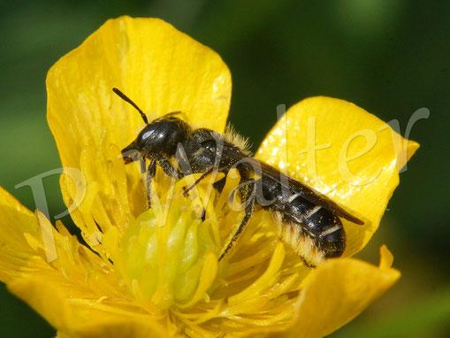 Bild: Hahnenfuß-Scherenbiene, Osmia florisomne, am Hahnenfuß