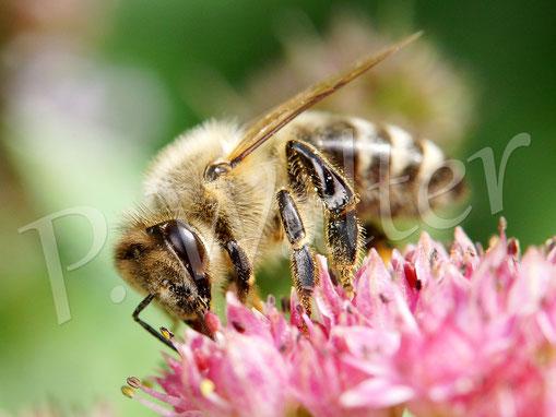 Bild: Honigbiene, Fette Henne