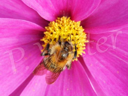 03.11.2019 : Hummel an einer der noch zahlreich blühenden Cosmeenblüten