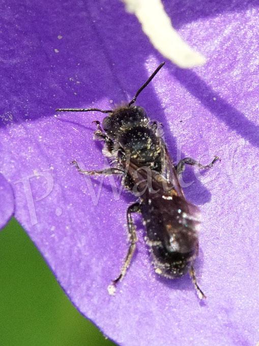 Bild: Glockenblumen-Scherenbiene, Osmia rapuculi, an der Blüte der Pfirsichblättrigen Glockenblume