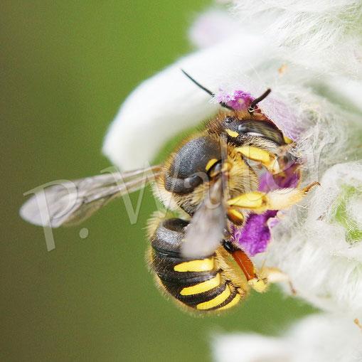 Bild: Garten-Wollbiene, Anthidium manicatum, am Woll-Ziest, Weibchen