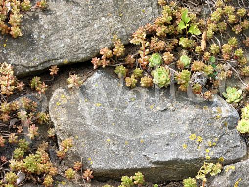 05.06.2017 : Nistplatz dieser Wildbienenart in den Fugen zwischen oder unter dem Apollokraut