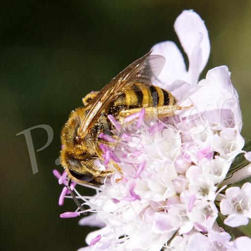 Bild: Gelbbindige Furchenbiene, Halictus scabiosea, Weibchen an Skabiose