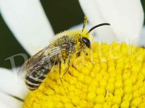Bild: Seidenbiene, Colletes spec., an einer Wiesen-Margerite