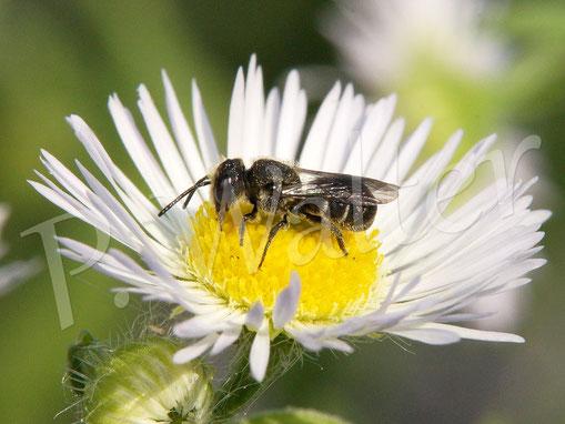 Bild: Löcherbiene, Osmia truncorum, Einjähriges Berufkraut