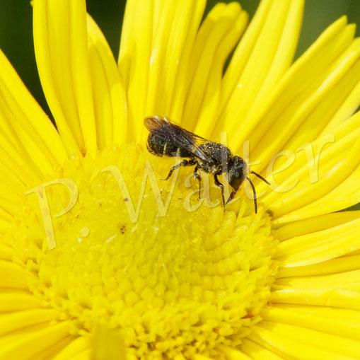 Bild: Löcherbiene, Osmia truncorum, am Ochsenauge