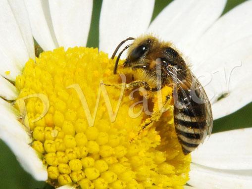 Bild: Seidenbiene, Colletes spec., Weibchen, auf einer Wiesenmargarite