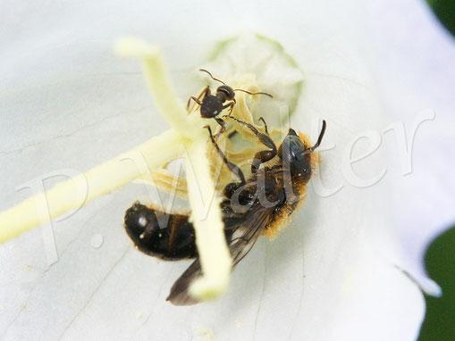 Bild: Glockenblumen-Scherenbiene, Osmia florisomnis