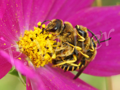 Bild: Gelbbindinge Furchenbienen, Halictus scabiosae, Pärchen, Cosmeenblüte