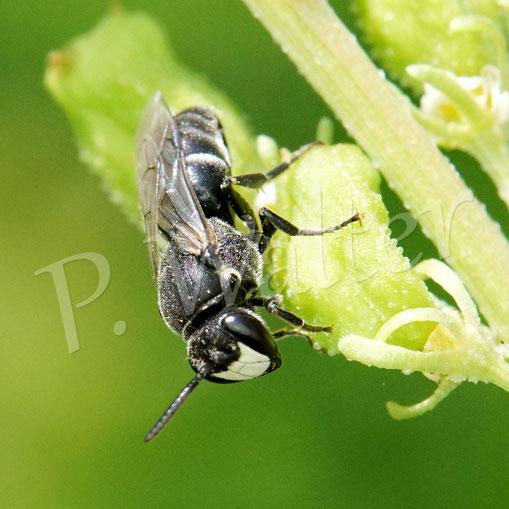 Bild: Maskenbiene, Hylaeus spec., an der Gelben Resede