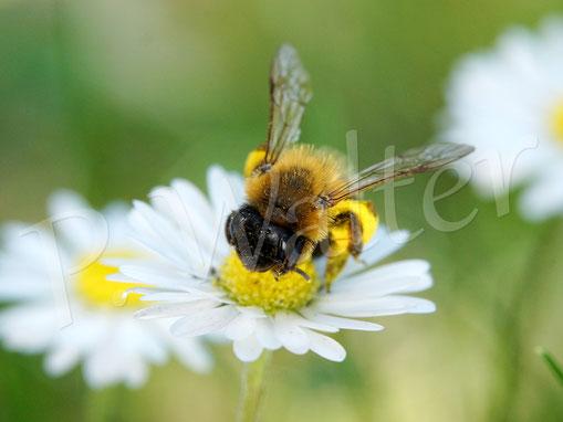 27.05.2017 : Wildbiene (Sandbiene ?) am Gänseblümchen