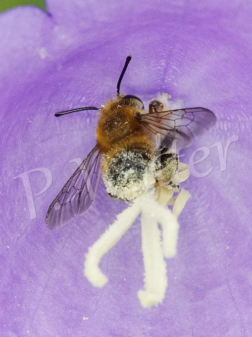 Bild: Blattschneiderbiene, Megachile spec., an einer Glockenblumenblüte