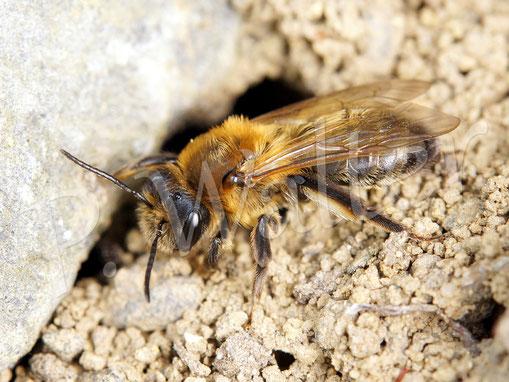 28.04.2017 : Glänzende Düstersandbiene, Andrena nitada, kommt aus ihrem Loch