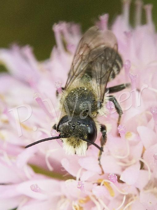 Bild: Mauerbienenmännchen, Osmia spec., an der Skabiose
