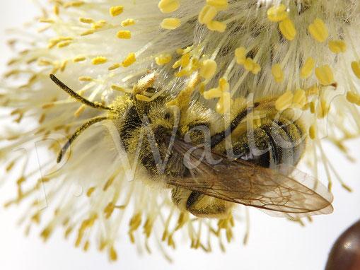 Bild: Sandbiene, Andrena spec., Weidenkätzchen
