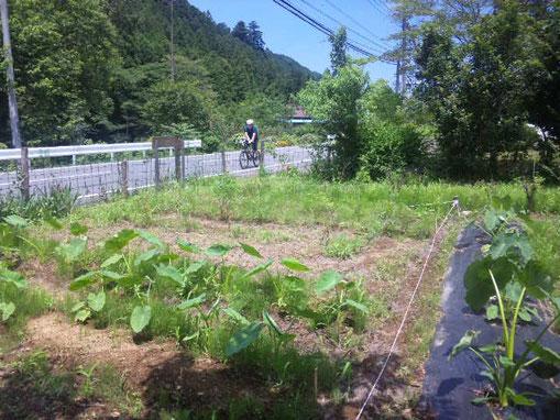 14.7.12撮影 M氏の畑(あまり手入れしていませんがサトイモがすくすく育っています。