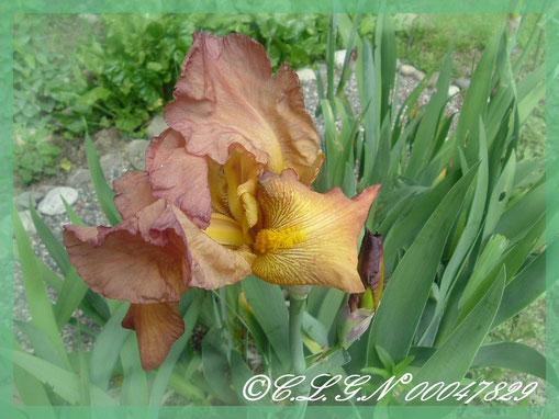 Mes Iris orangés et rouges très parfumés ...