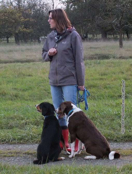 Appenzeller Sennenhunde in schwarz und havannabraun
