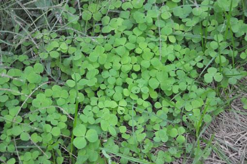 クリムゾンクローバー 緑肥 草生栽培 不耕起農法 自然農 農業体験 体験農場