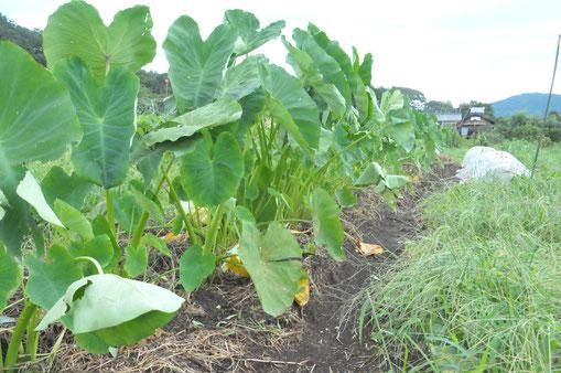 サトイモ 自然栽培 農業体験 体験農場 野菜作り教室 さとやま農学校