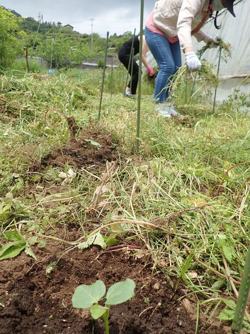 ハーブの講座でローゼルの定植をする農業体験「さとやま農学校・初夏のショートコース」
